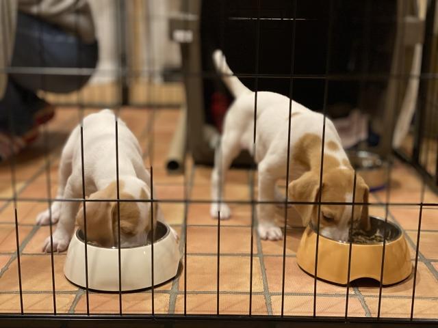 ケージの中で食事をする2匹の子犬