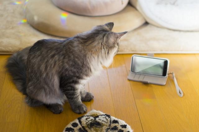 スマホ画面を見る猫