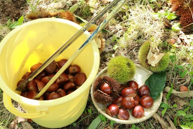 バケツに収穫した栗とトング