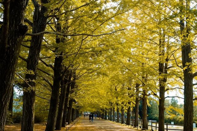 黄葉したイチョウ並木