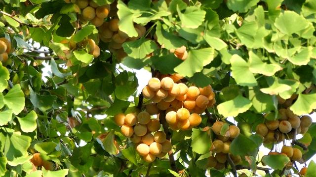 イチョウの枝についた銀杏