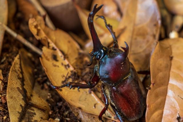 落ち葉につかまるカブトムシ